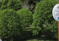 A debreceni csüngő japánakác-pár, Ziliz ezeréves tölgyfája és a Mausz-fa a nyertesek